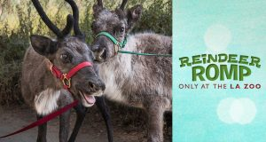 The LA Zoo Reindeer Romp @ Los Angeles Zoo