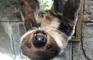 Lola The Sloth at Wildlife Learning Center